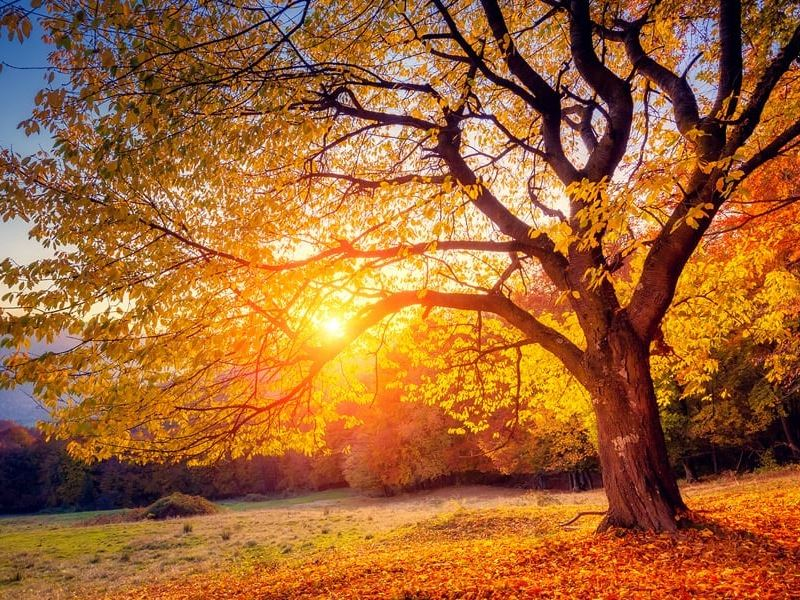Sunshine peeking through the golden leaves of a large tree