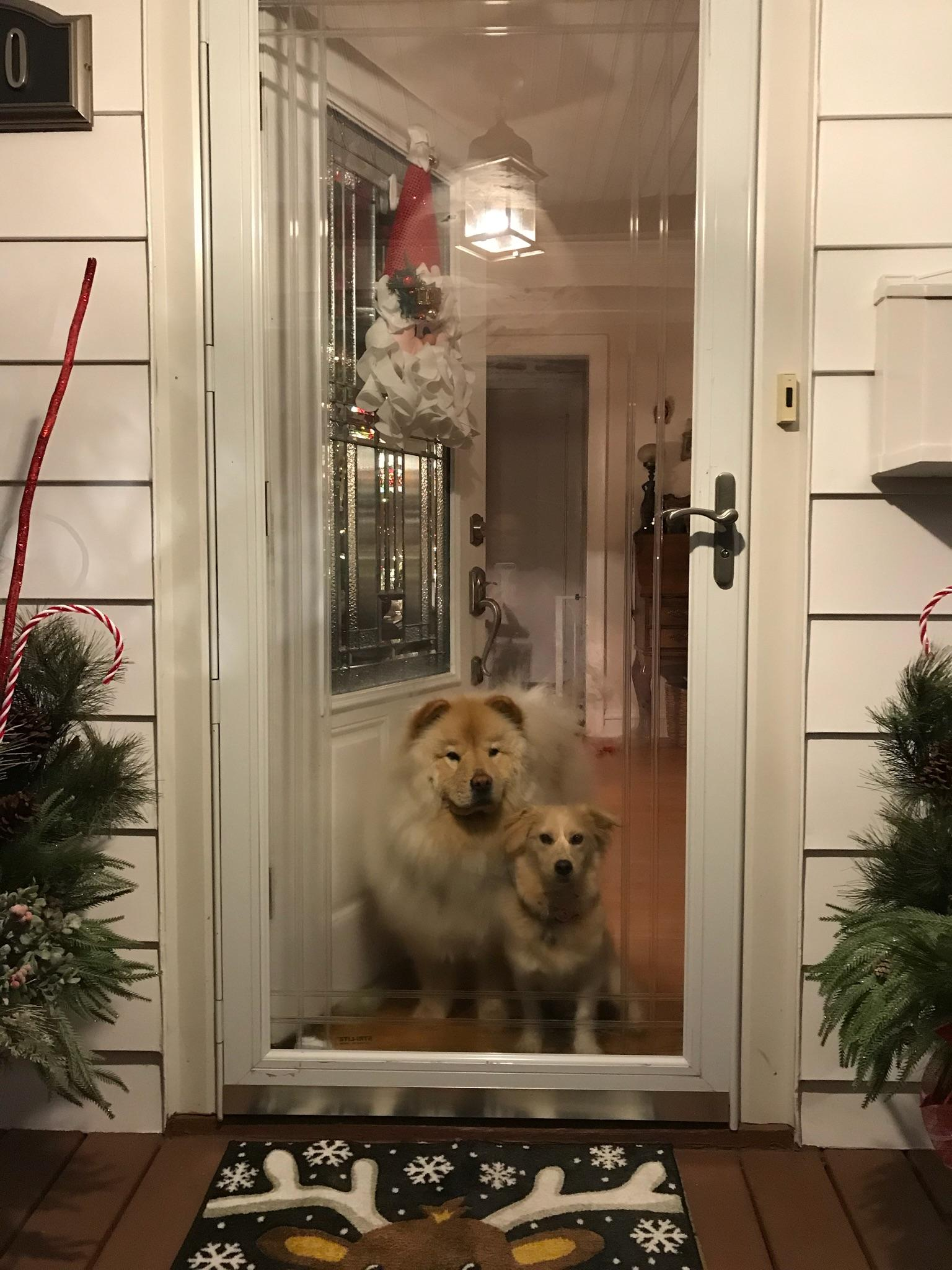 Two light brown dogs looking out through a glass front door