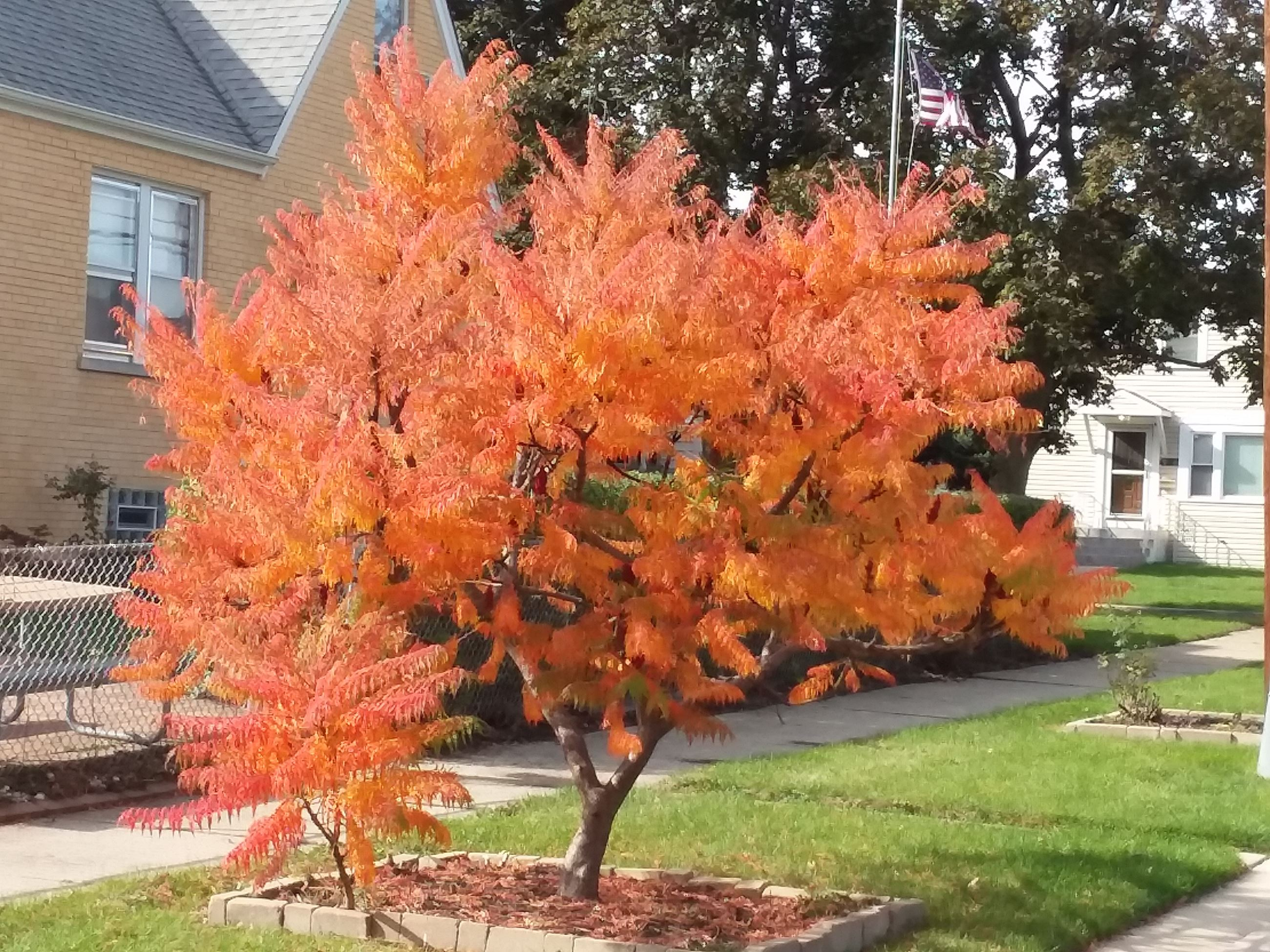Short tree with bright orange leaves in the fall next to a resident's home